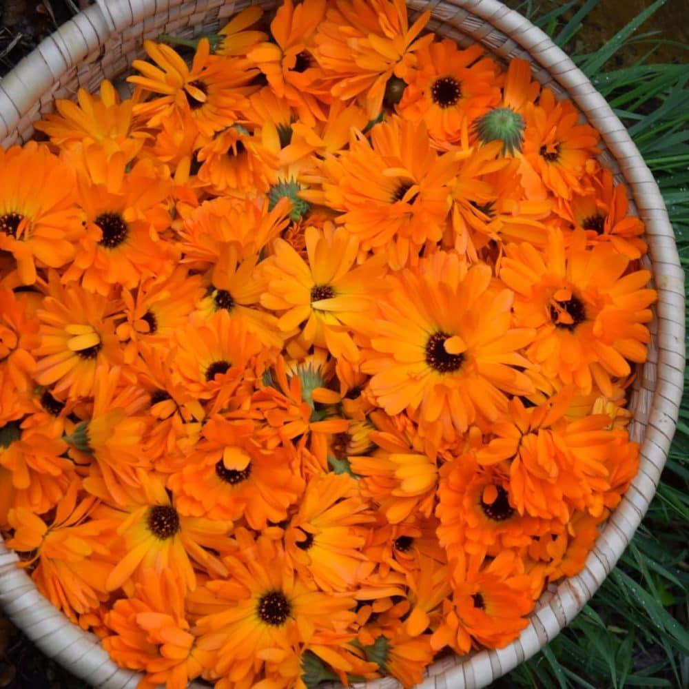 Macérat de fleurs de calendula