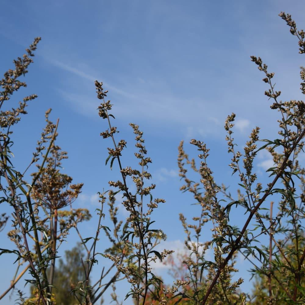 Armoise   Artemisia vulgaris
